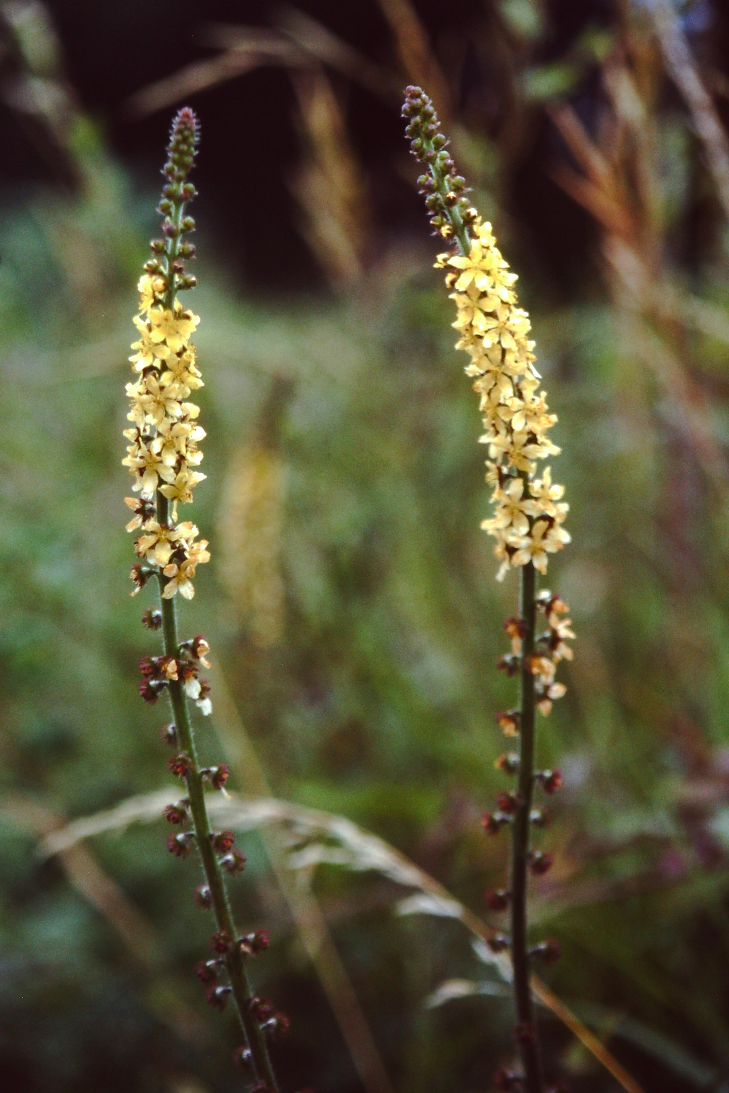 Agrimony ( Agrimonia eupatoria ) también se emplea como Remedio Floral.    Copyrigth: Mikel Benito