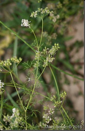 Coriandrum sativum L. , Cilantro     Planta medicinal y condimento. Cultivado en un huerto que se encuentra junto a un aparcamiento rural y una escombrera. No deberíamos recolectarlo en este lugar.