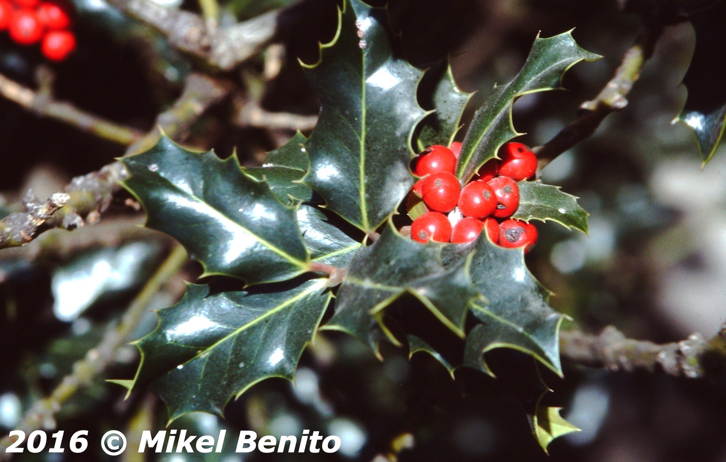 Acebo,hojas y frutos.     Ilex aquifolium L.