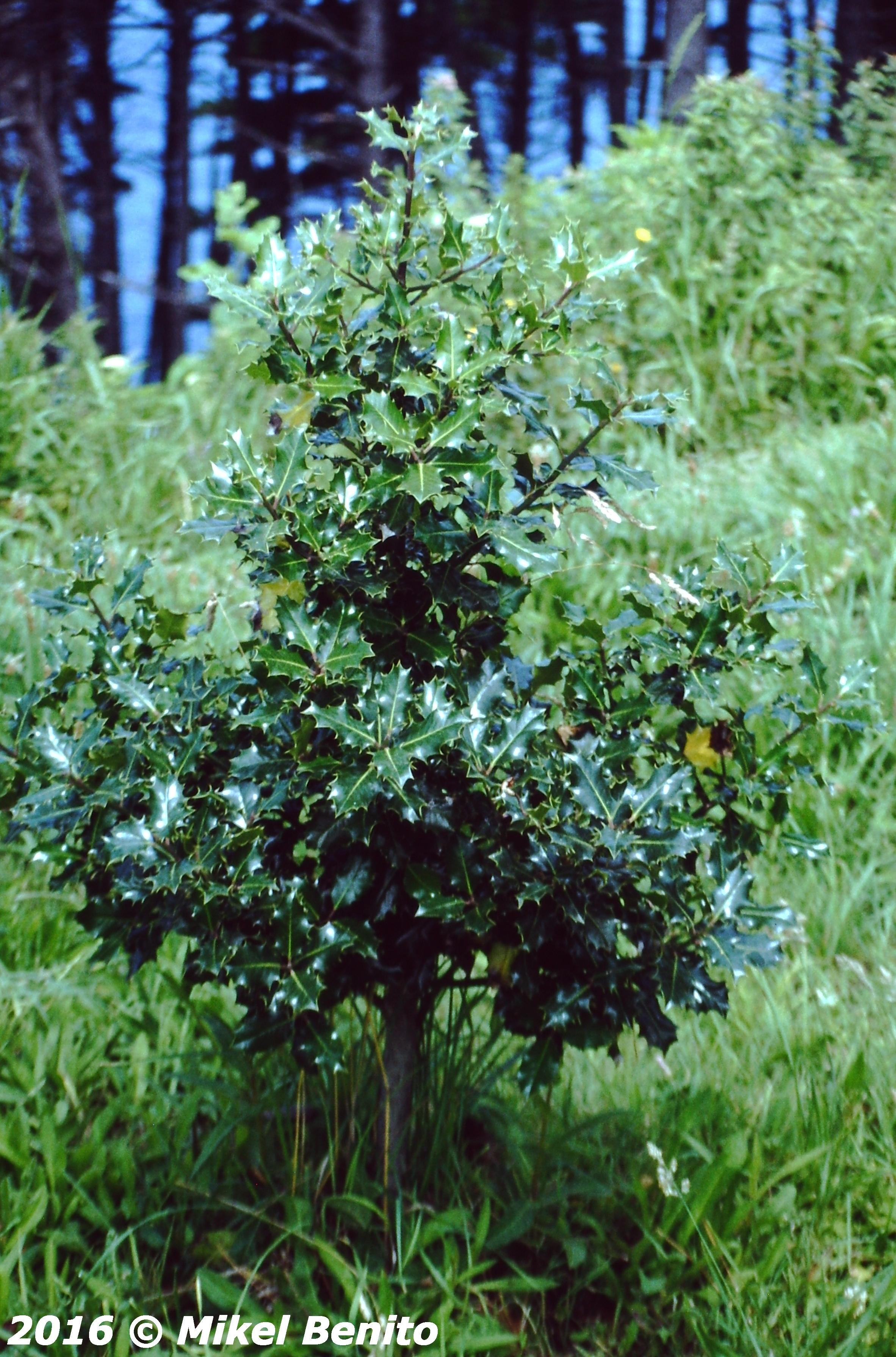 Ilex aquifolium L. Acebo