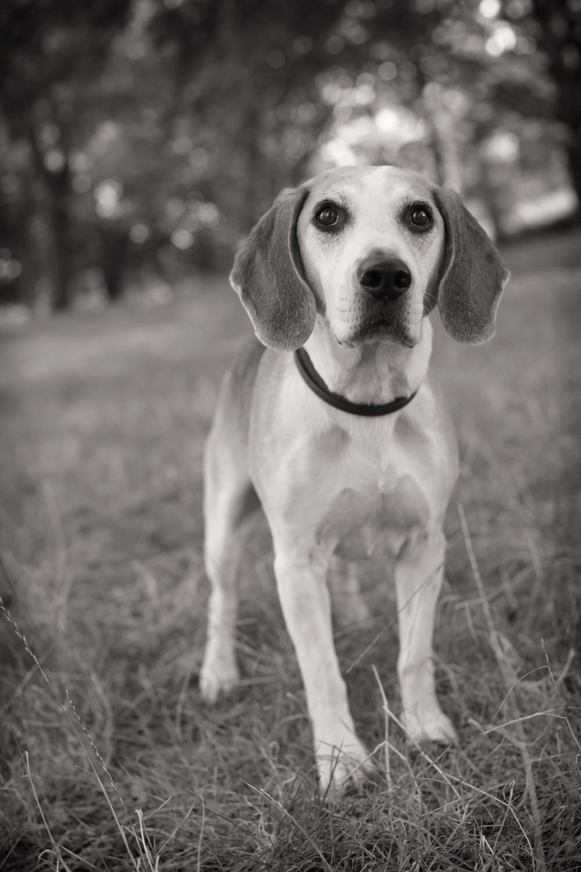 HOTSHOT  -  Beagle, Marylebone