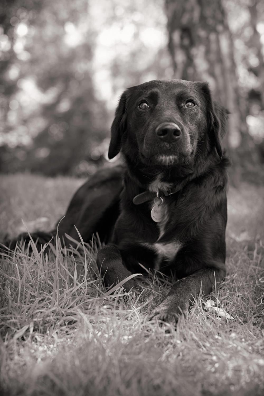 NELLY  -  Labrador Retriever, Marylebone
