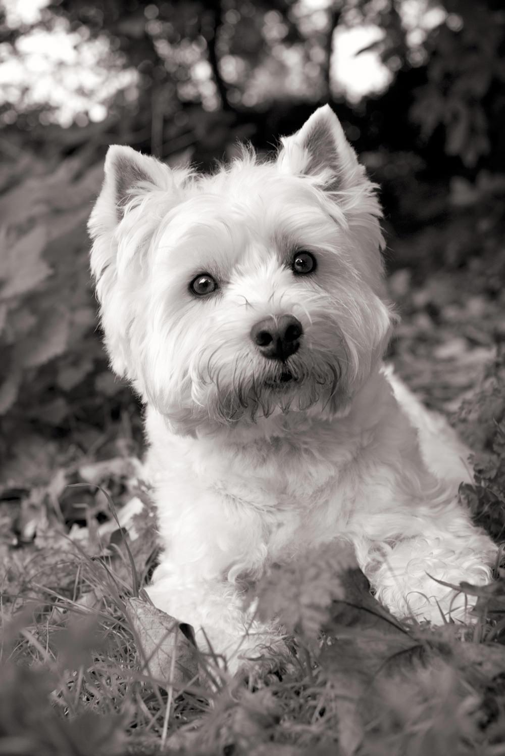 FINN  -  Westhighland Terrier, London