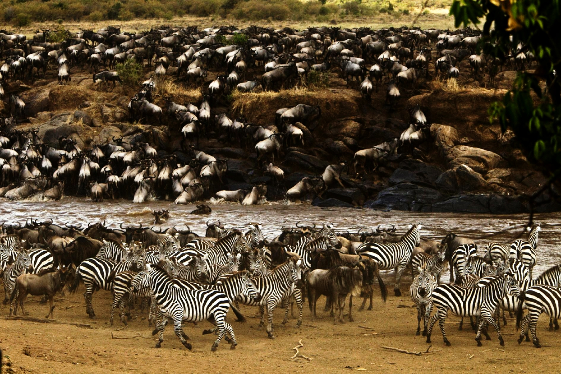 Mara Plains_Copyright_Beverly_Joubert_Mara_Wildlife_Kenya_5273_zebras.adapt.945.2.jpg