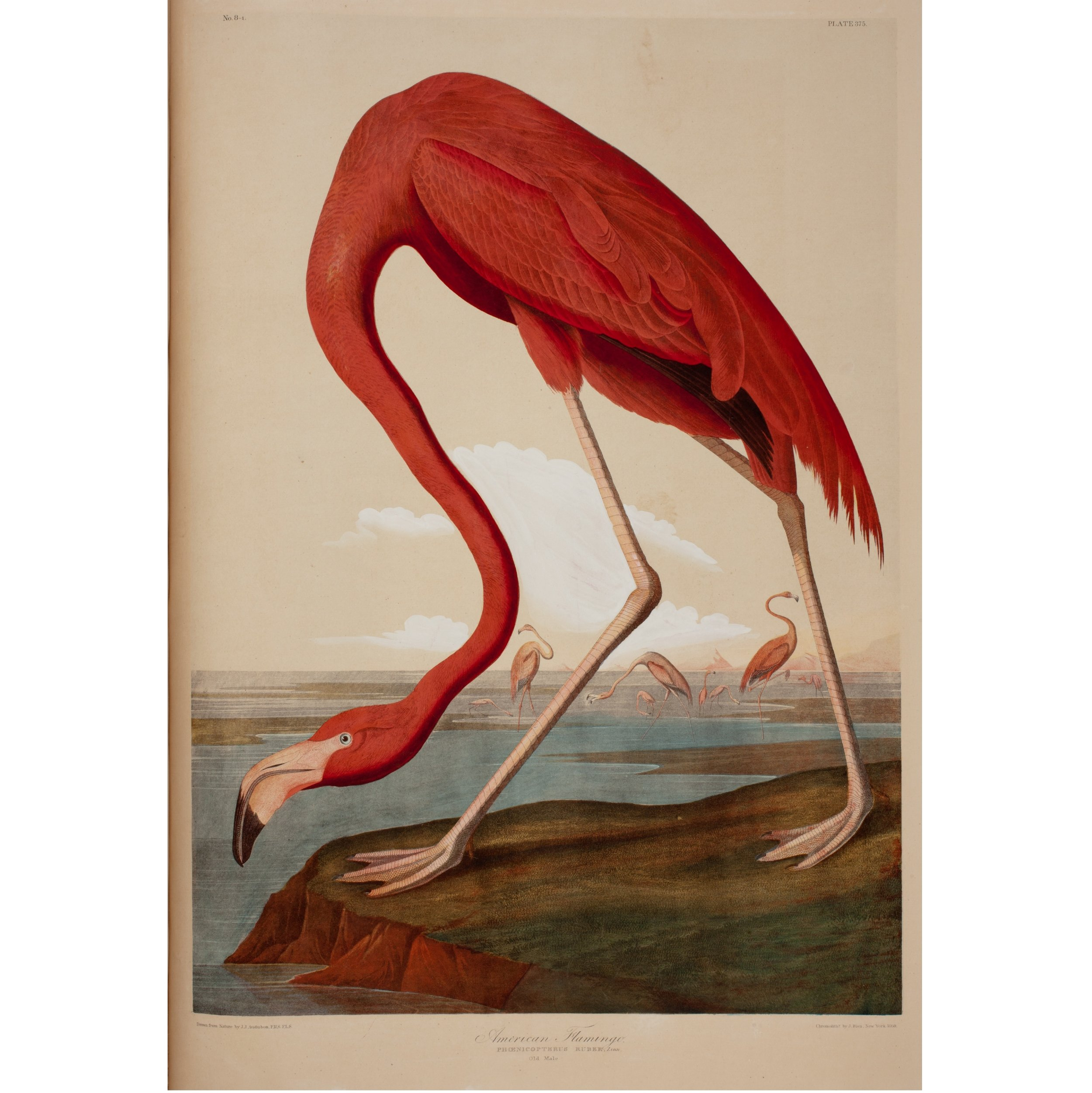"Flamingo,  from ""Birds of America,"" John James Audubon"
