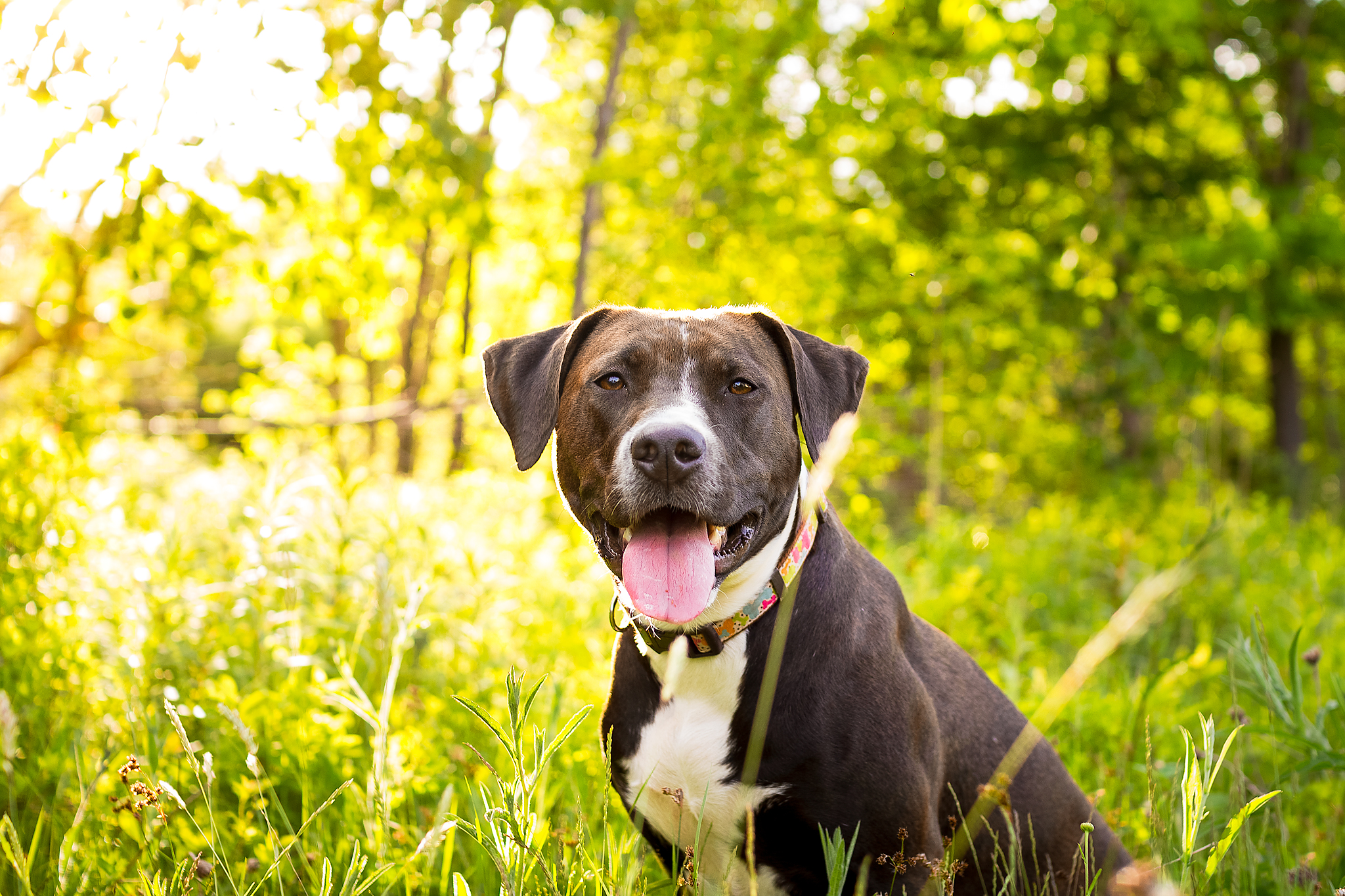 Ruby_reactive_dog_pitbull_amstaff.jpg