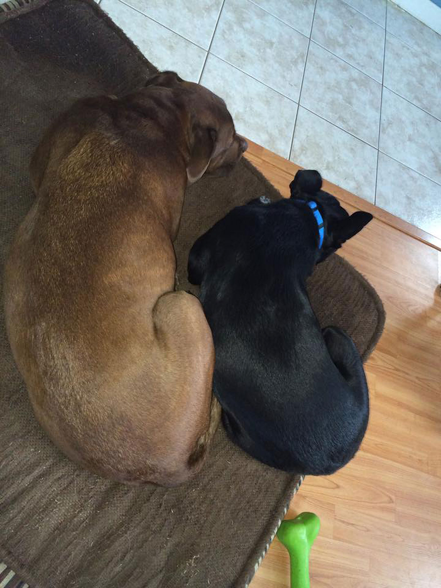 Bear napping with his foster brother, Hershey.