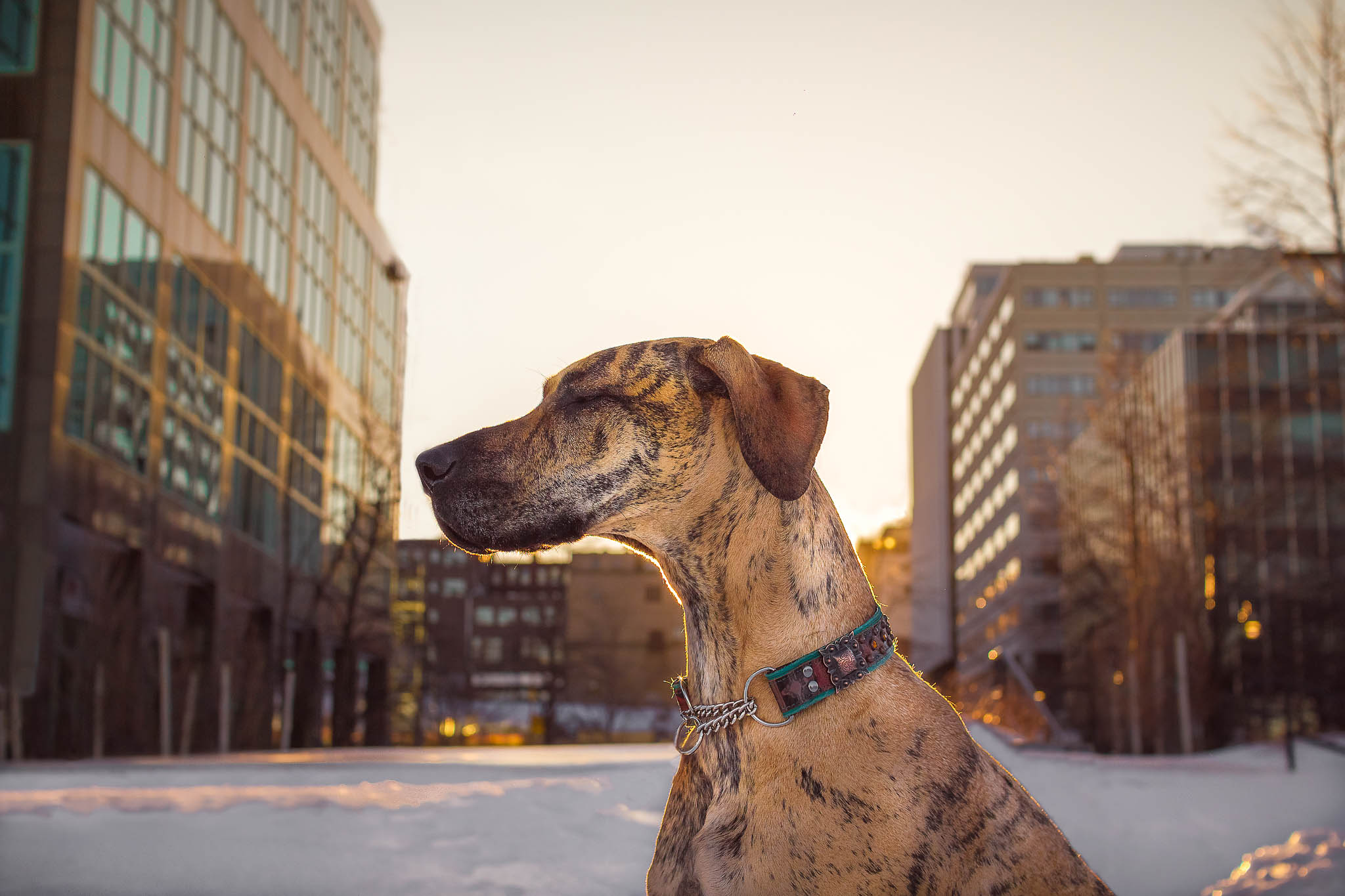 great_dane_halifax_dog_photographer.jpg