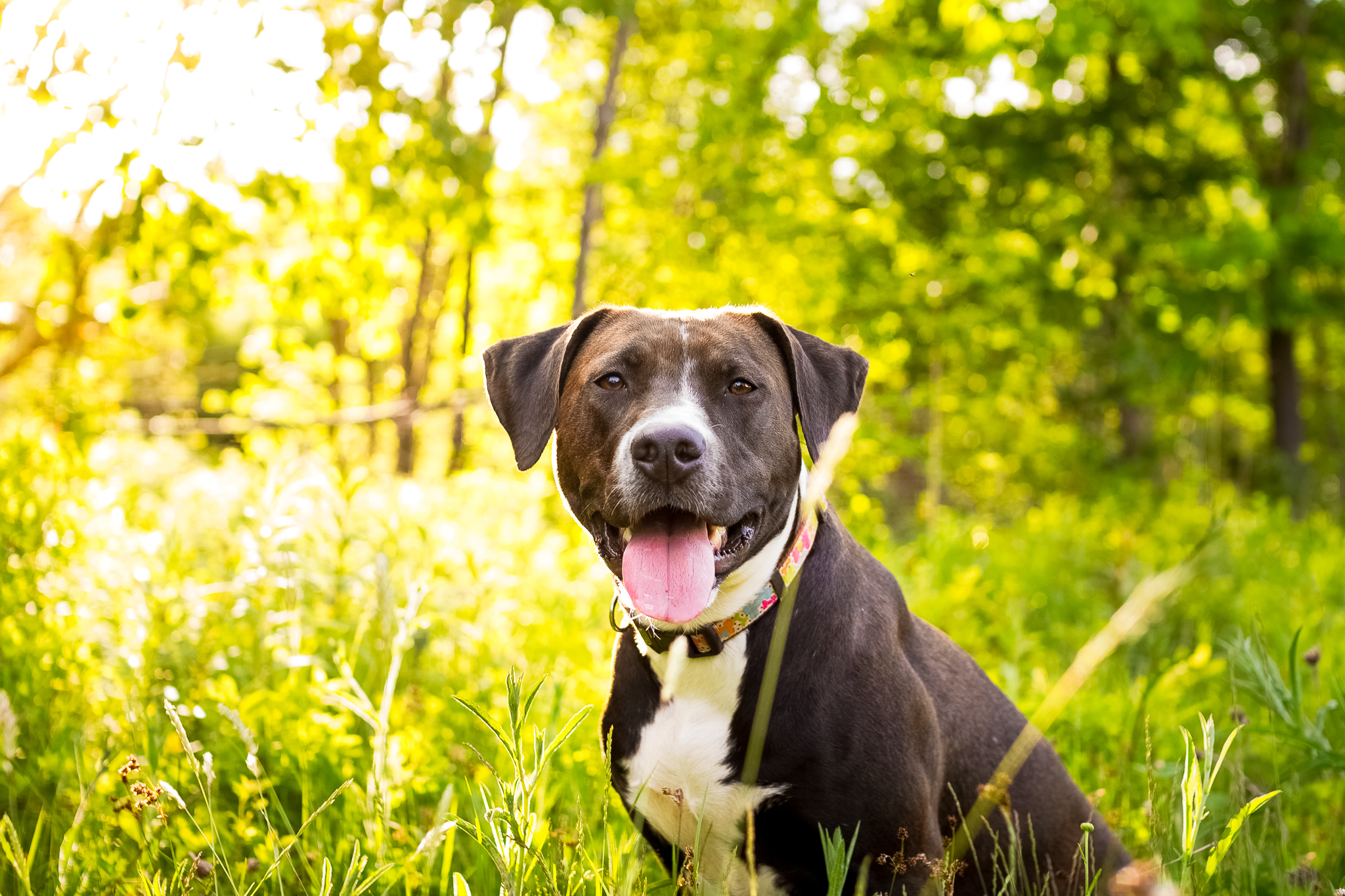 pitbull_halifax_dog_photography.jpg