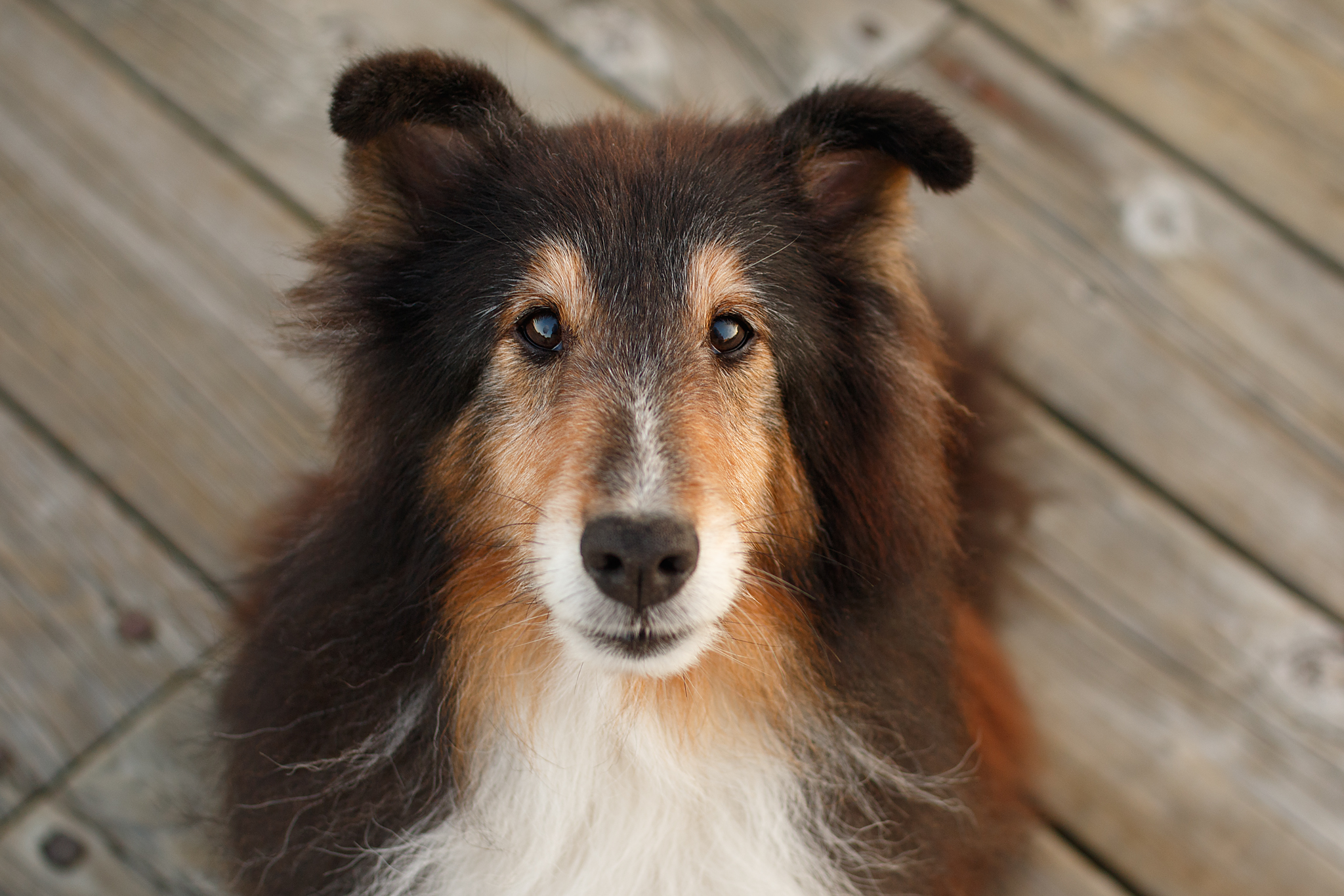 sheltie_halifax_dog_photographer.jpg