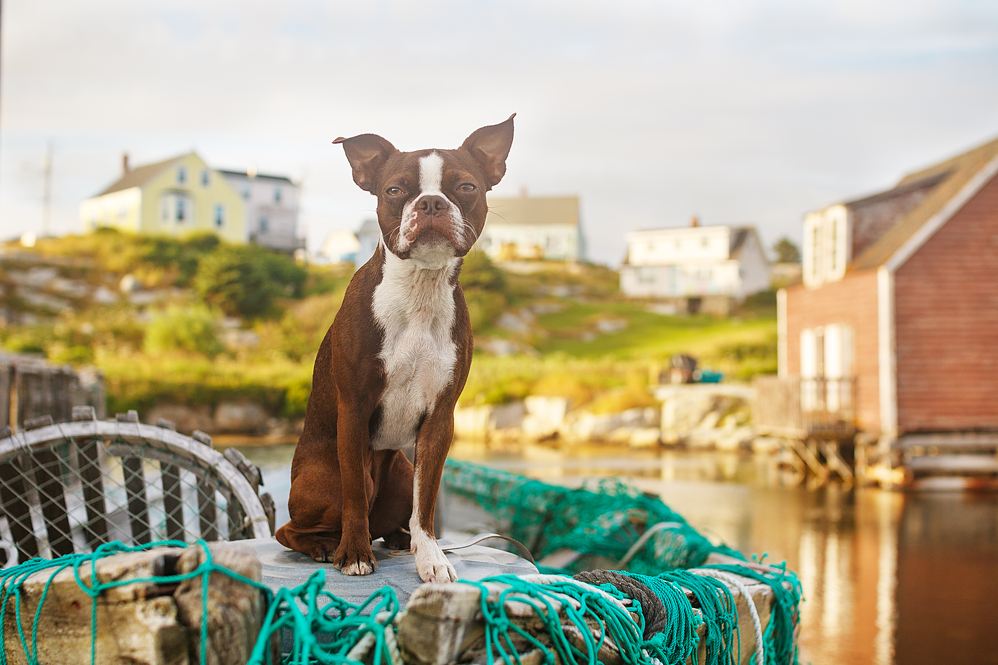 boston_terrier_halifax_dog_photography.jpg