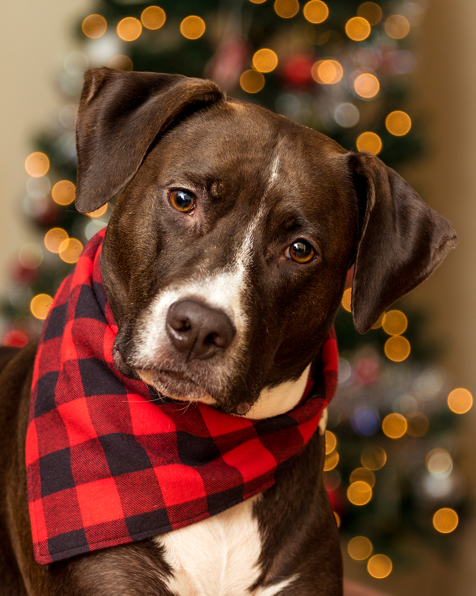 Halifax_Christmas_dog_Photography.jpg