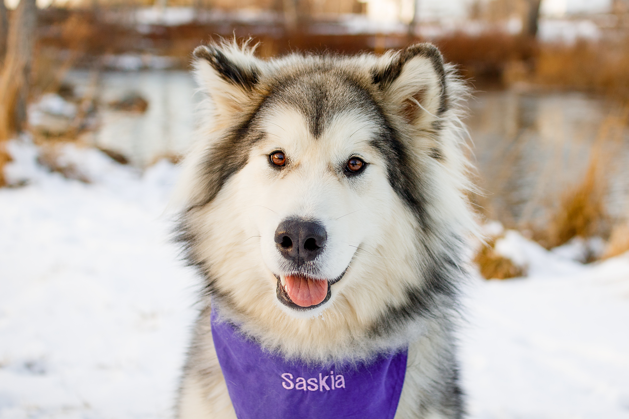 Halifax_Christmas_malamute_Photography.jpg
