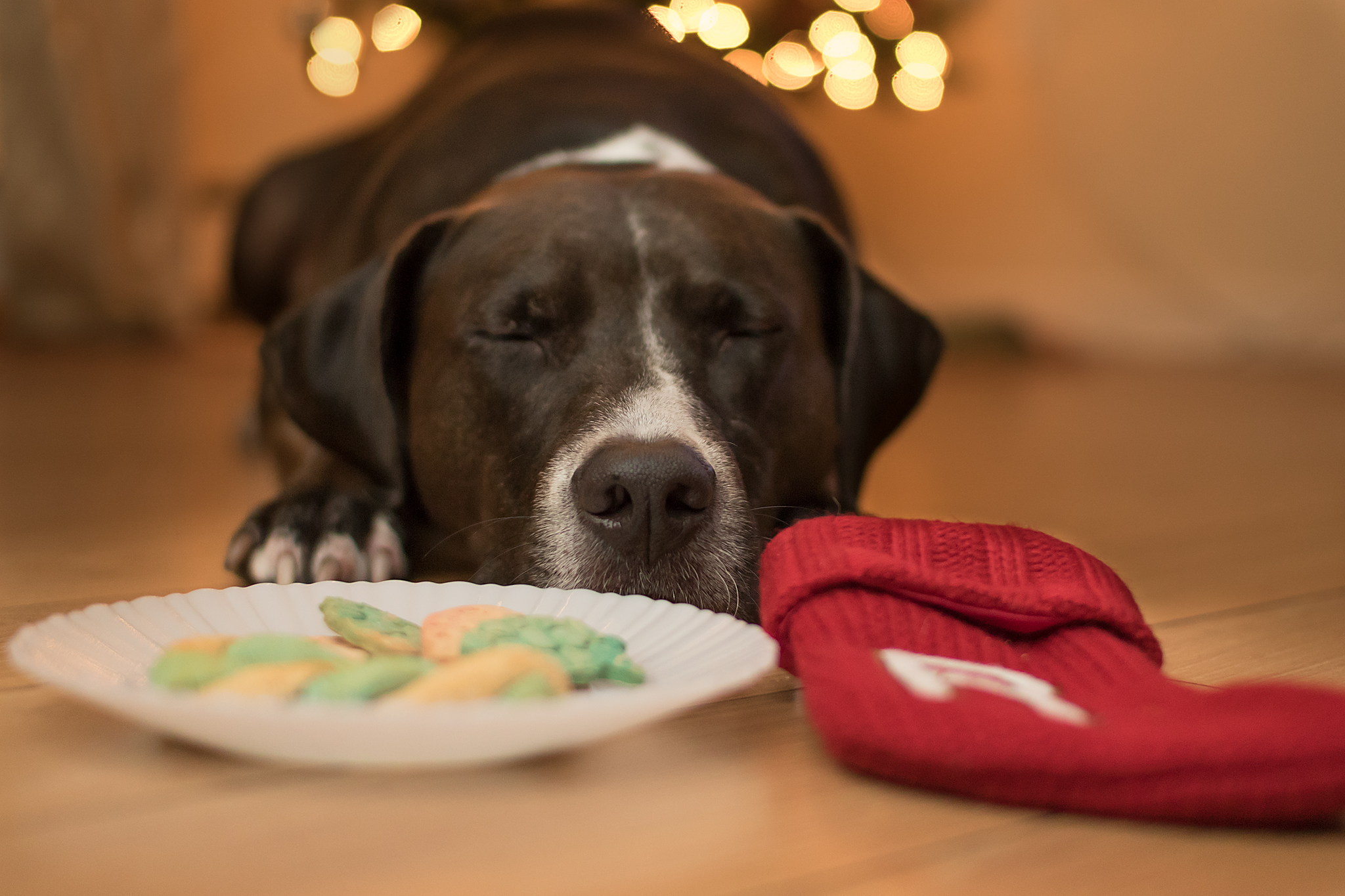 Halifax_pet_photographer_christmas.jpg