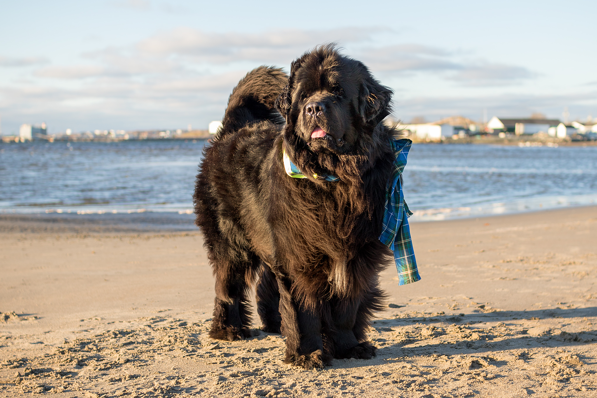 newfoundland_dog_photography.jpg