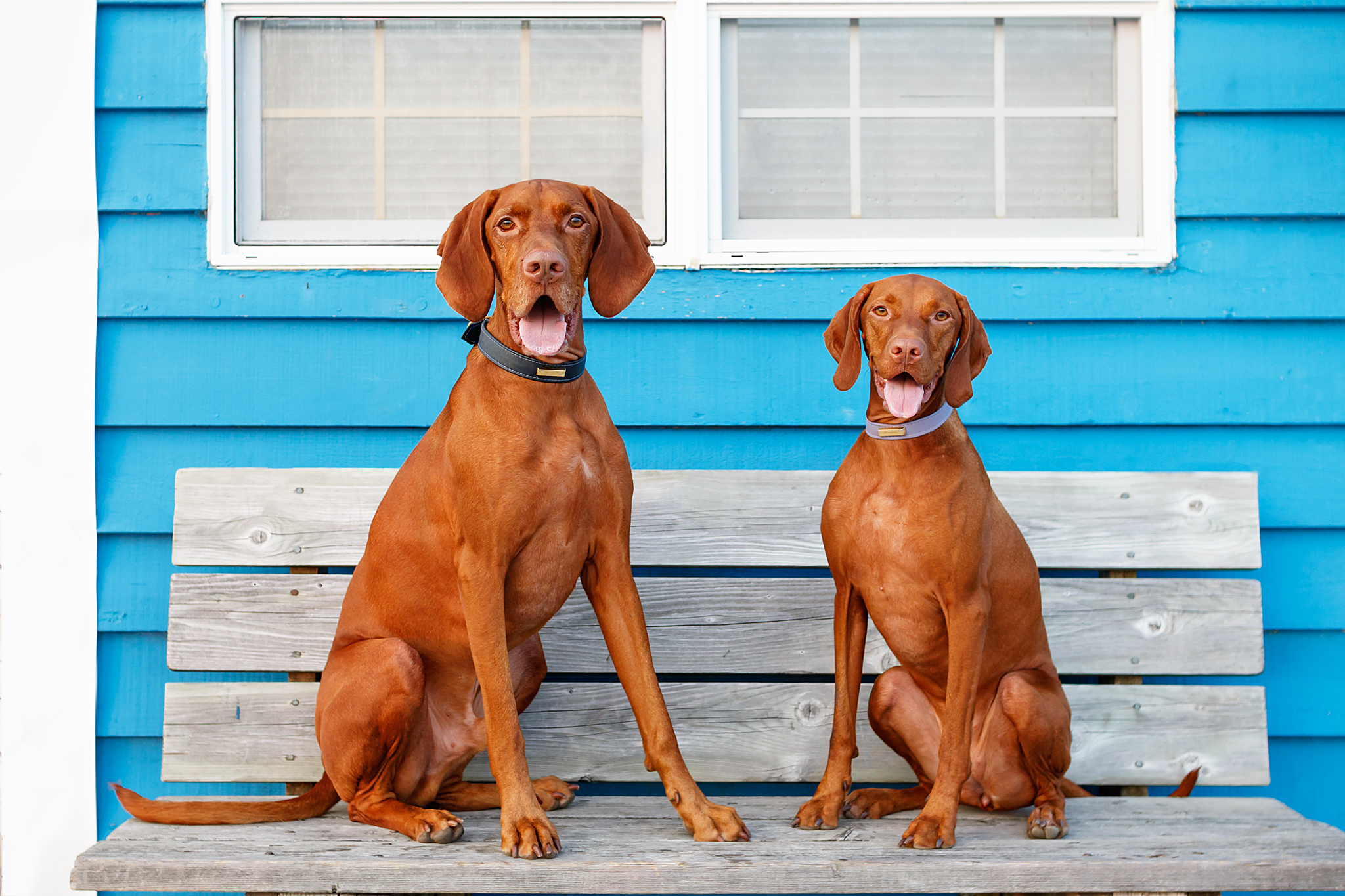 vizsla_photographer_halifax.jpg