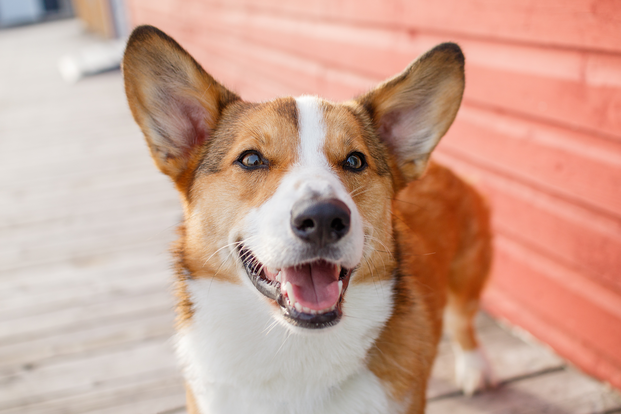 corgi_halifax_pet_photography.jpg