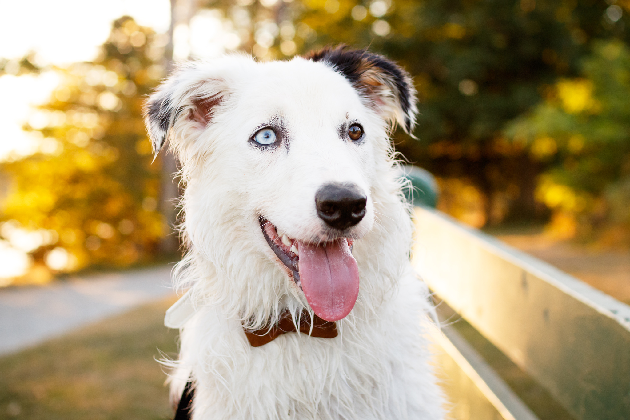border_collie_heterochromia_photography.jpg