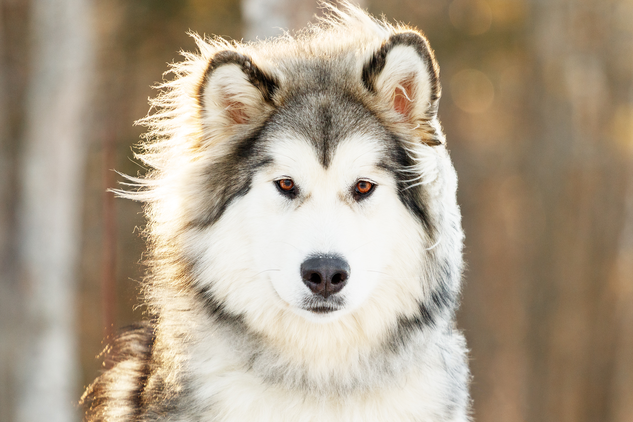 malamute_halifax_dog_photos.jpg