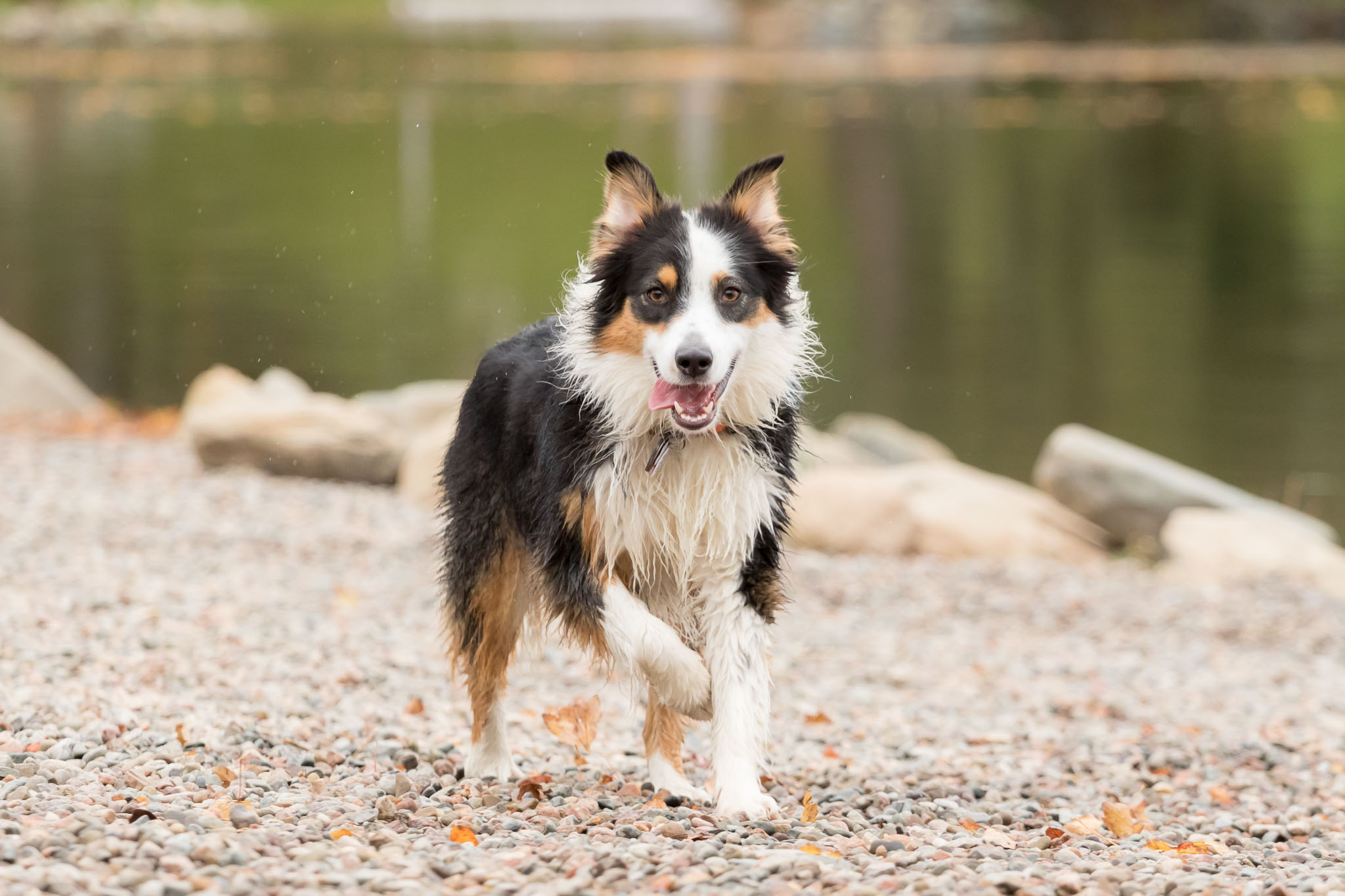 Australian_Shepherd_Pet_Photographer_Halifax.jpg