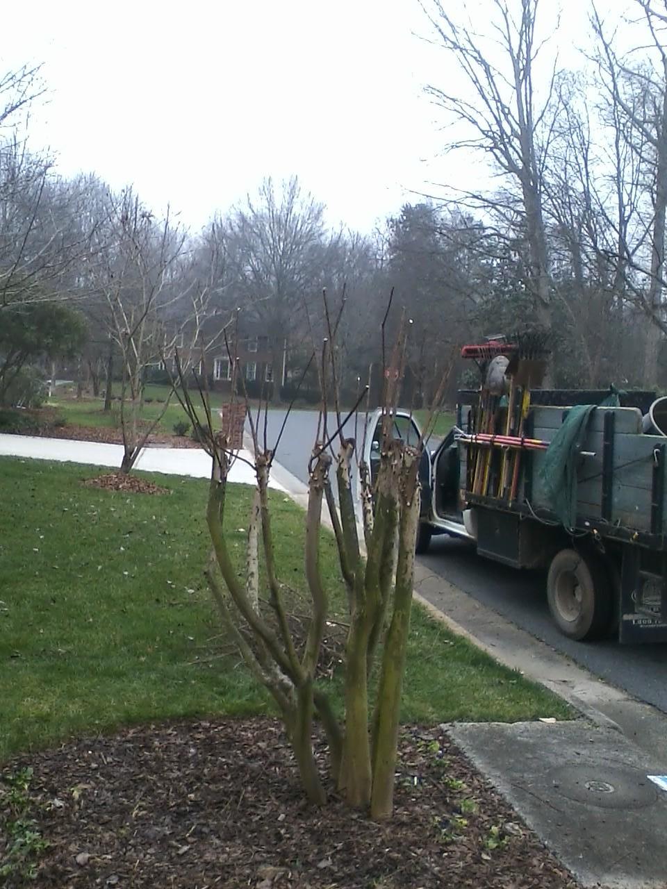 Crape myrtle pruning