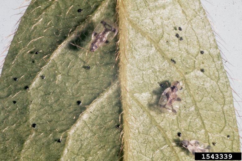 Adult lace bugs and black fecal specks. Photo credit: Jim Baker, North Carolina State University, Bugwood.org