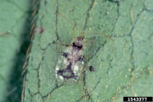 Azalea lace bug. Photo credit: Jim Baker, North Carolina State University, Bugwood.org