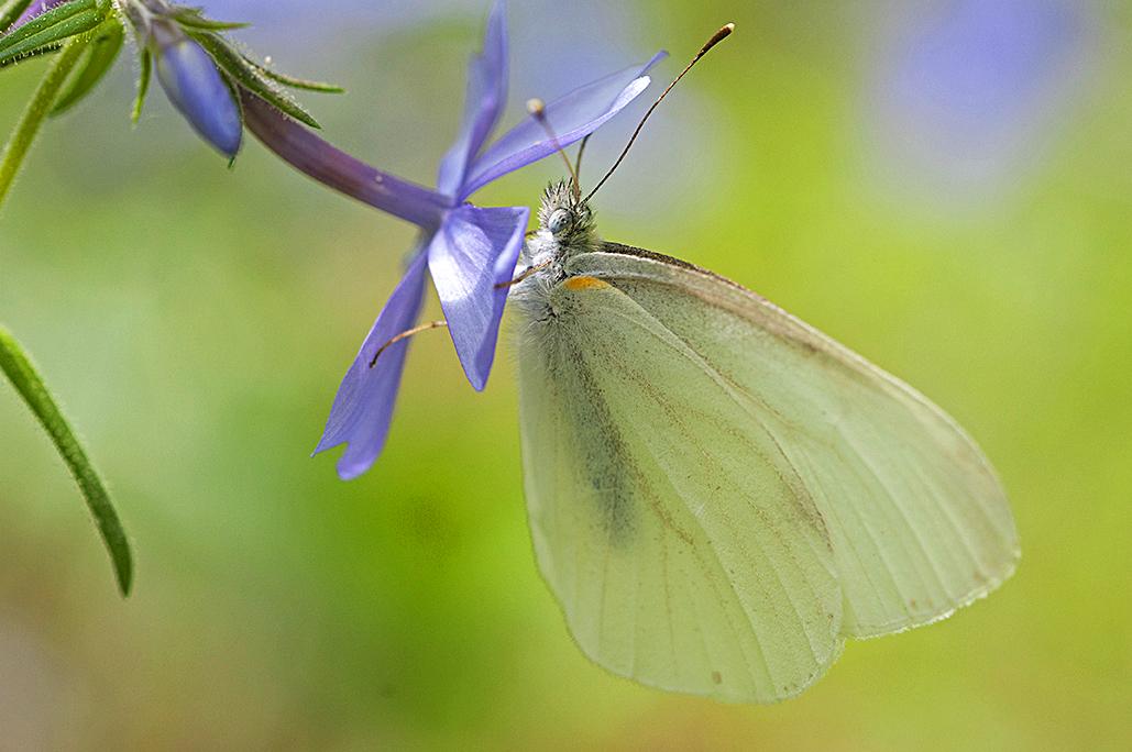 a Moth feeding.jpg