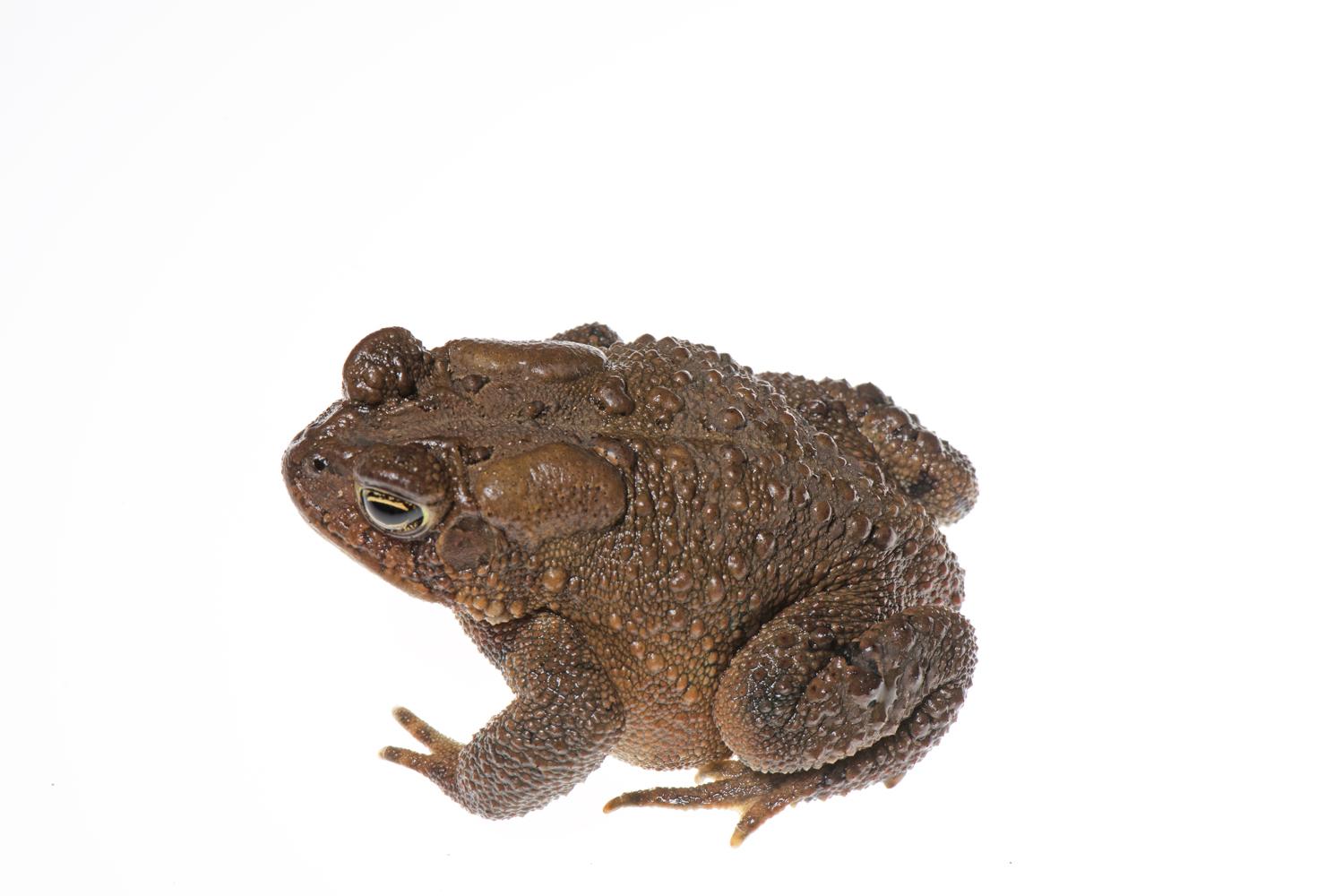 800_9628 Eastern American Toad.jpg