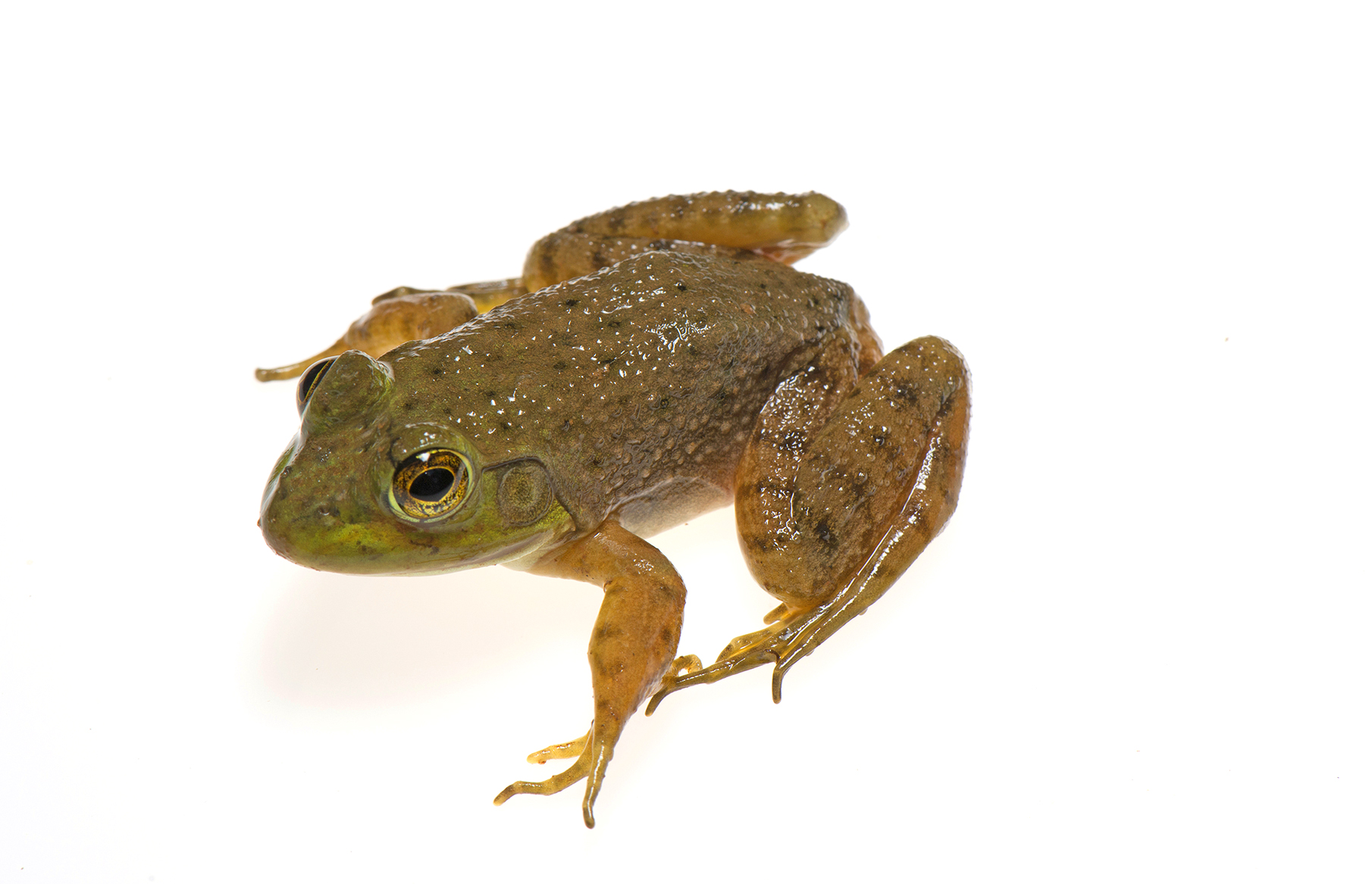 800_9701 Northern Green Frog juvenile .jpg