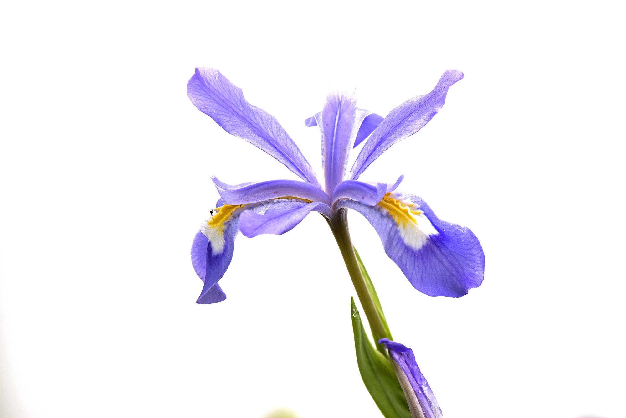 Crested Dwarf Iris.jpg