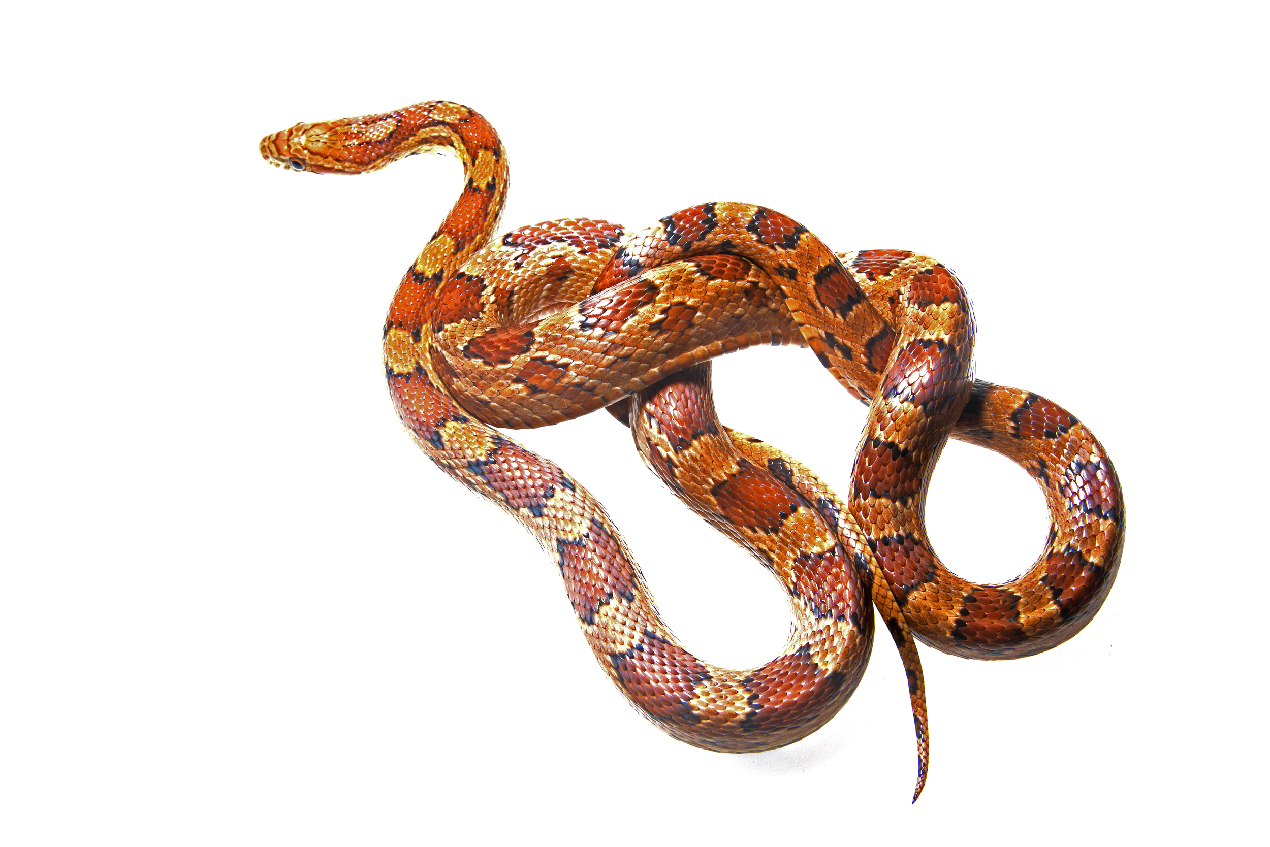 Colubridae Elaphe guttata. A Corn Snake.jpg