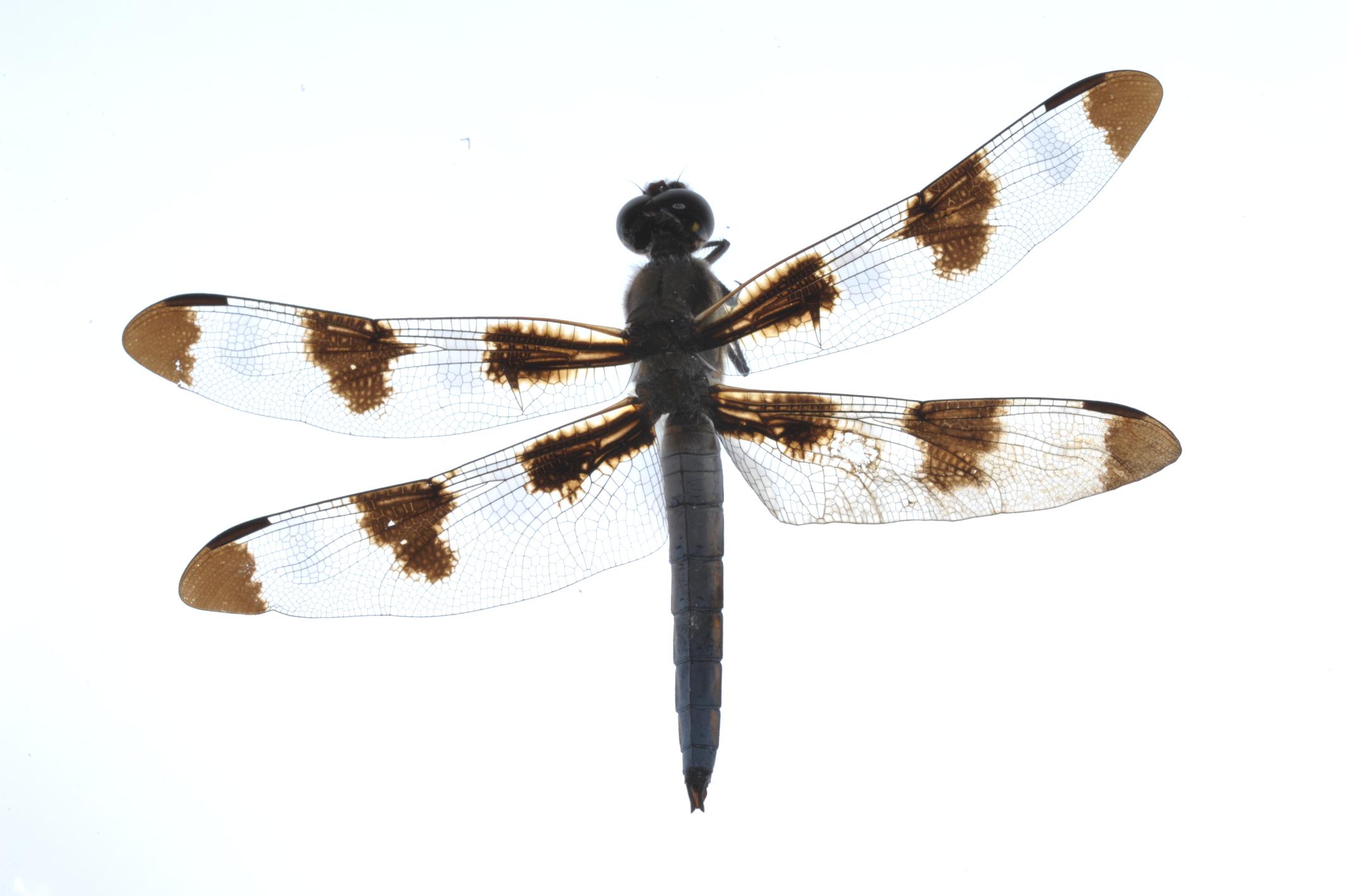 Libellula pulchella, twelve-spotted skimmer.JPG
