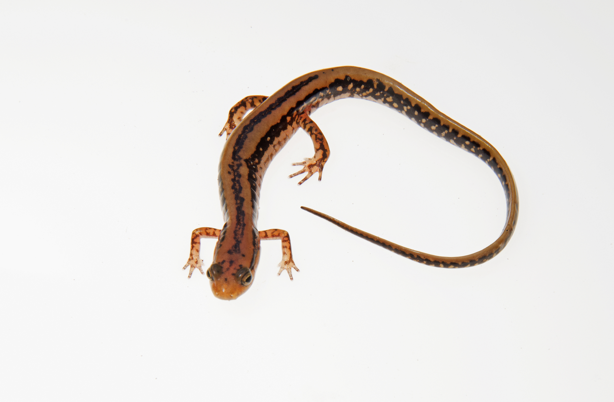 Eurycea guttolineata, three-lined salamander.jpg