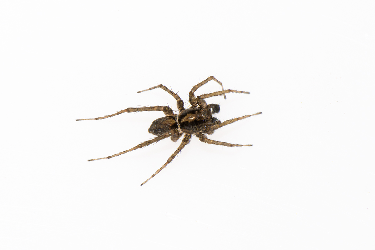 Pardosa sp. Thinlegged wolf spider.jpg