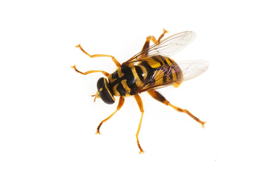 Syrphidae, Milesia virginiensis©FitzPatrick_001 copy.jpg