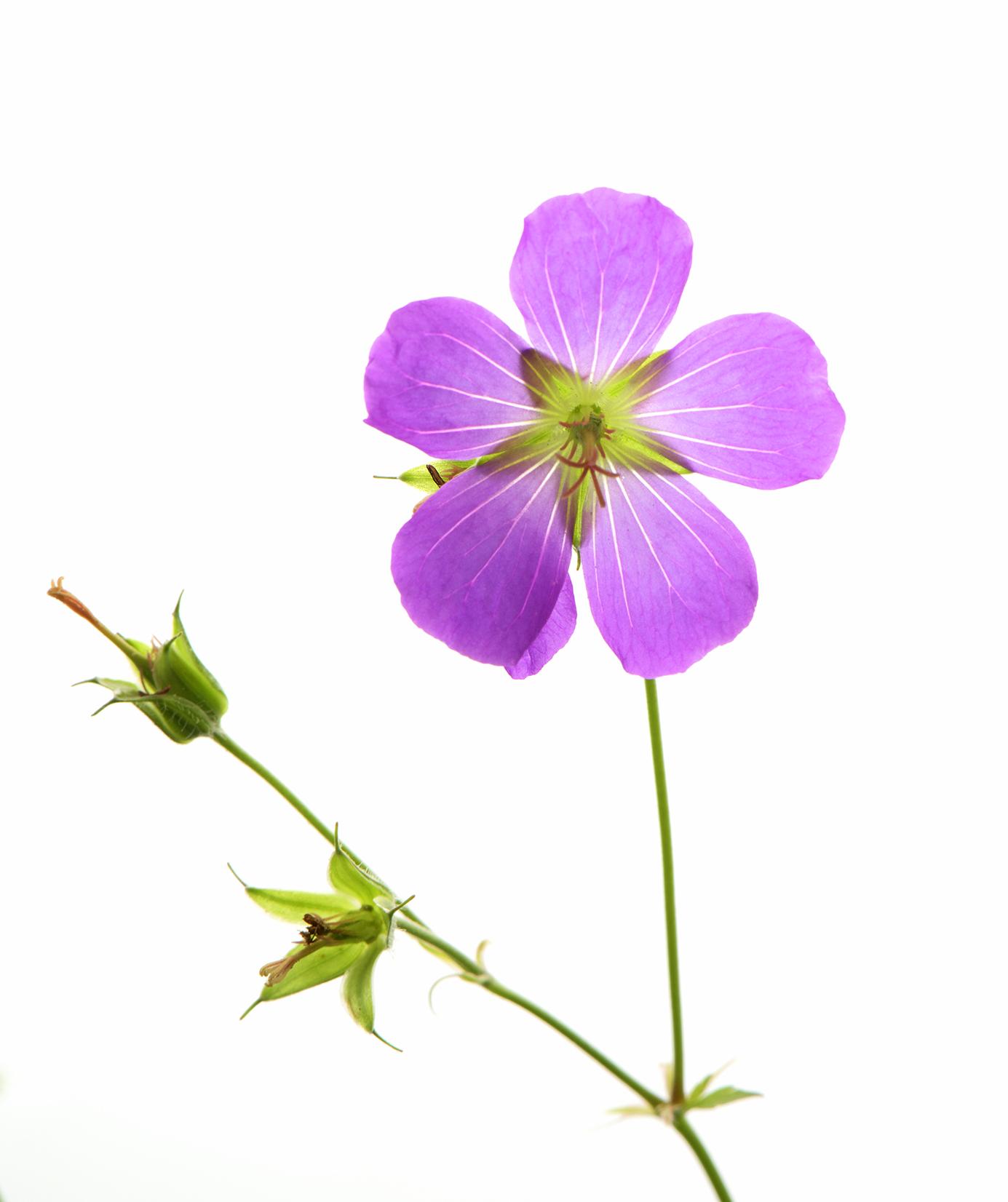 Wild Geranium .jpg