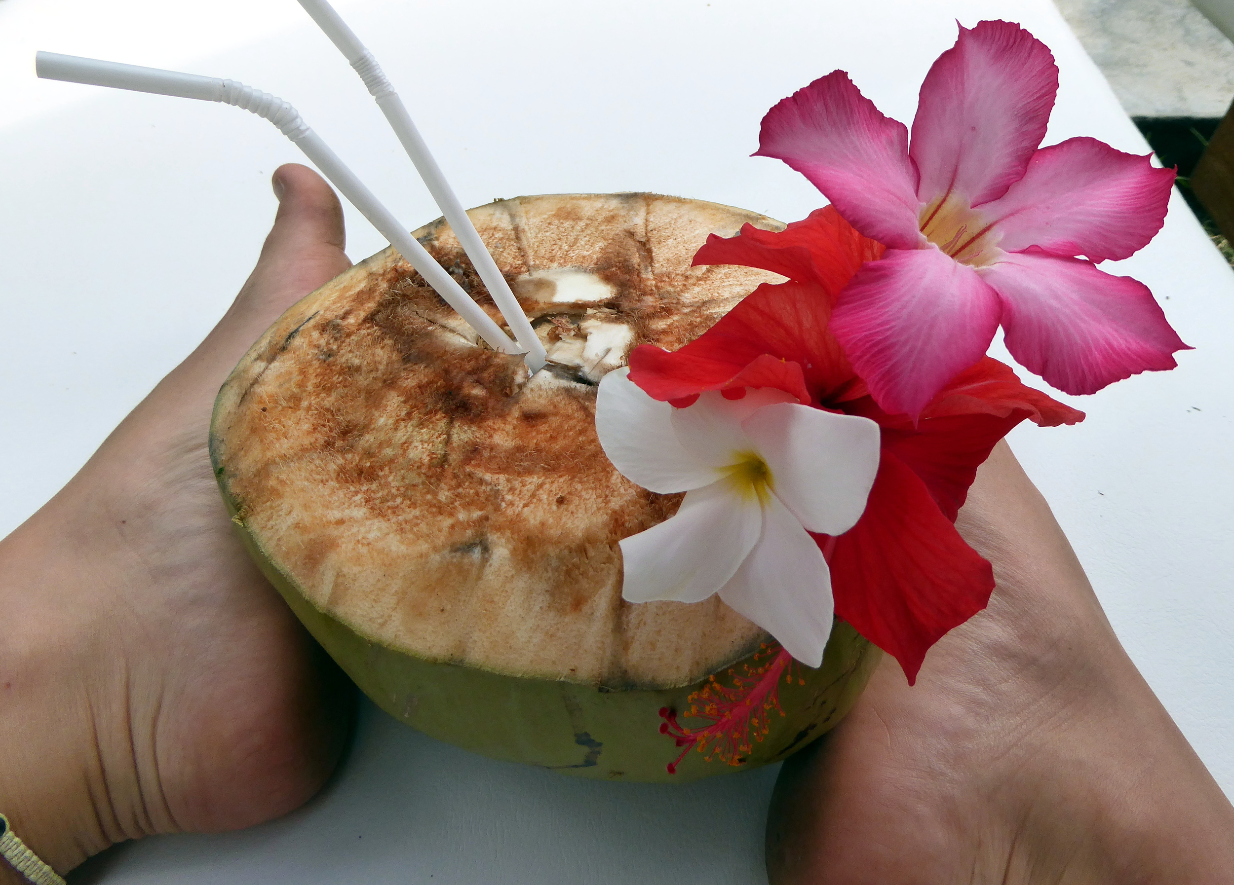 Frische Kokosnuss vom Baum. Zuerst wird das Kokoswasser geschlürft und dann kann das Fruchtfleisch herausgeknabbert werden.