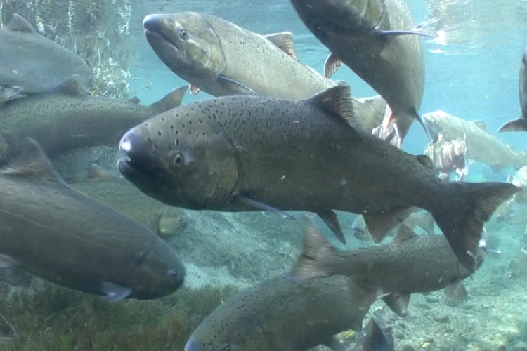 Chinook salmon - King or Chinook salmon are Alaska's largest salmon and also the state fish. This incredibly large and incredibly yummy species spends 3-4 years in the ocean before returning to the exact stream it was born to spawn.Image & facts courtesy of NOAA