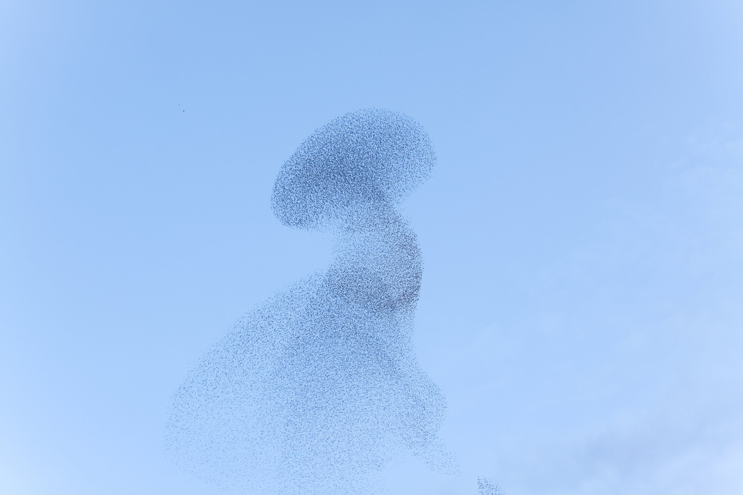 Bird swarm movements