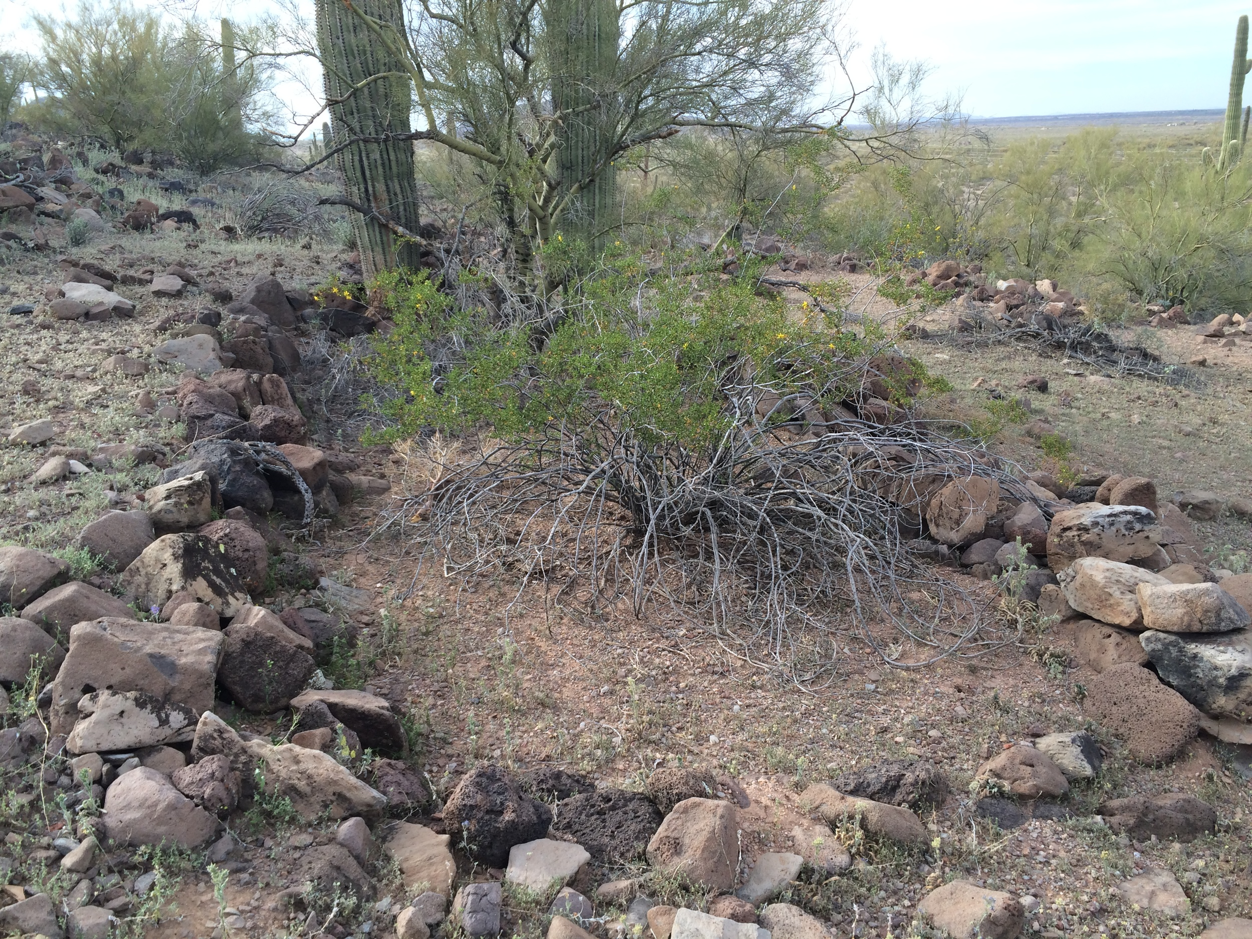 Creosote, palo verde, and saguaro growing among the ruins of an ancient Hohokam stone structure at Cerro Prieto, Los Robles Archaeological District, Ironwood Forest National Monument. Photo by  Fastily .
