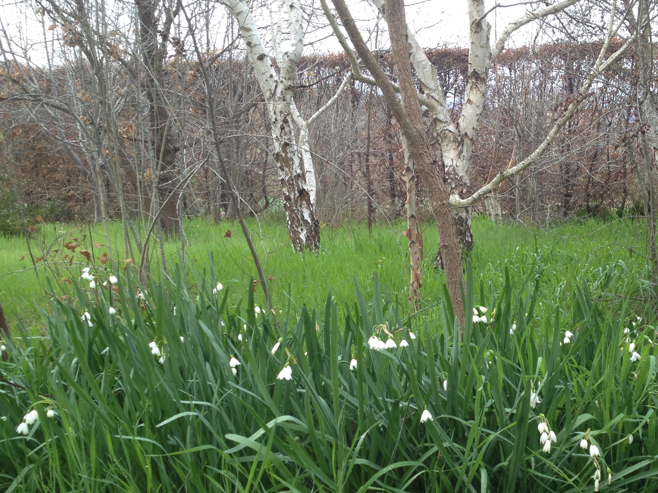 Snowdrops (one of Jekyll's favorites) signal spring in the wood.