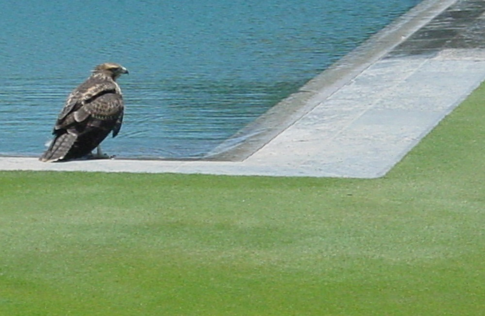 A red-tailed hawk at the pool's edge of volcanic lava stone imported from Hawaii. The grass is Penncross Creeping Bentgrass, which is typically used on putting greens.