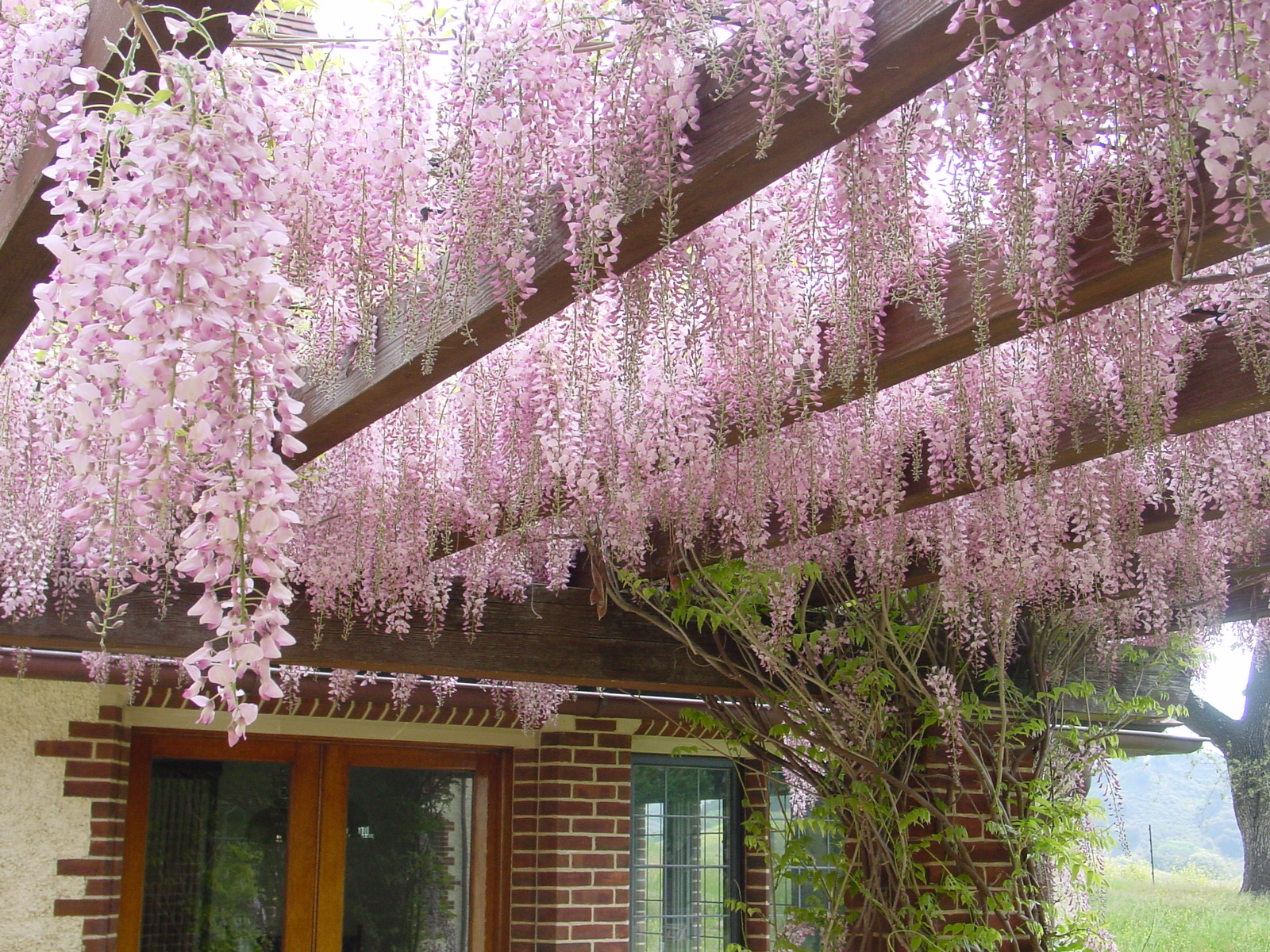 Pink wisteria on the Breakfast Terrace Pergola.