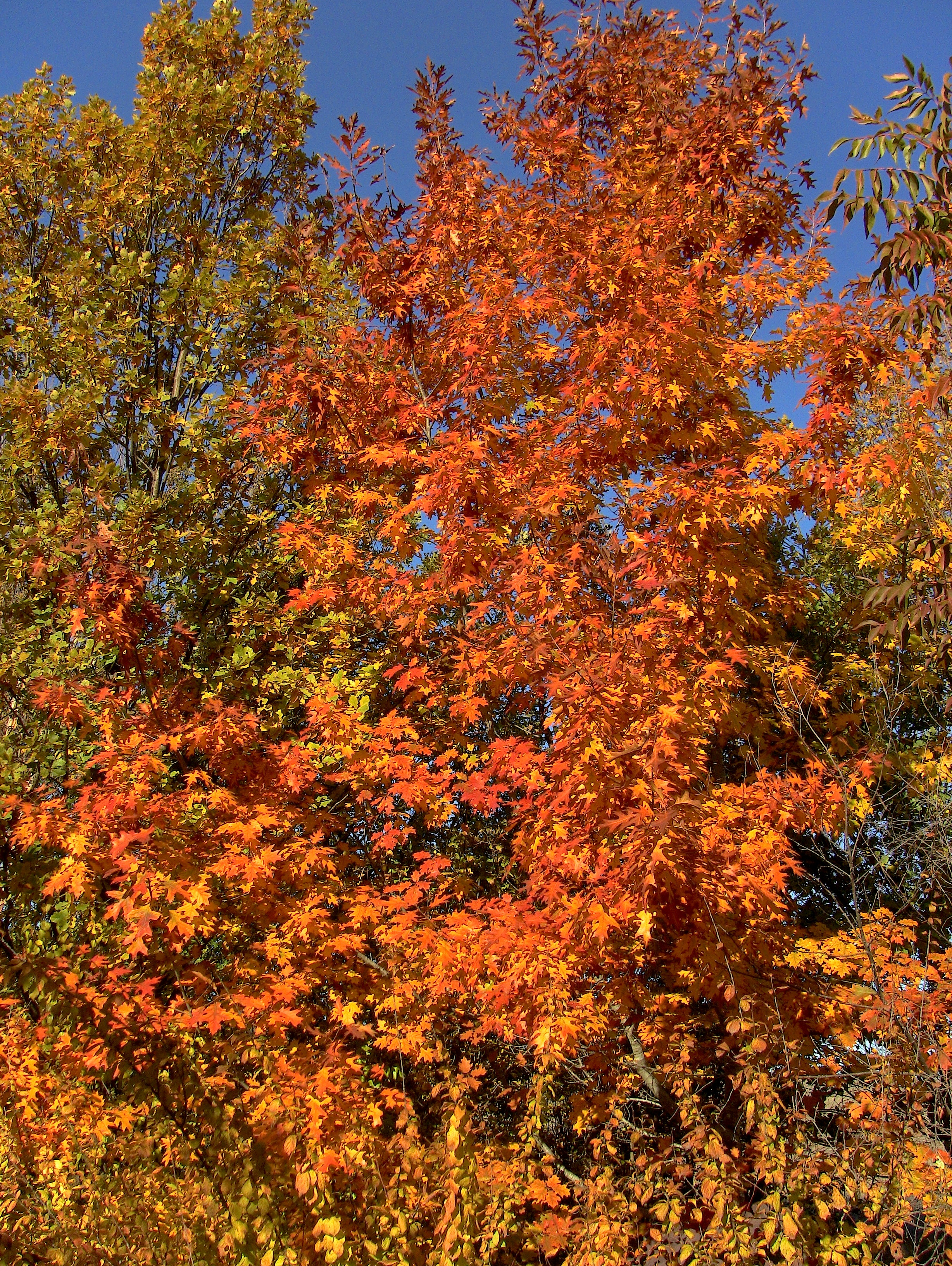 Scarlet Oak, Chinese Pistache, English Oak and Flowering Plum in the Fall