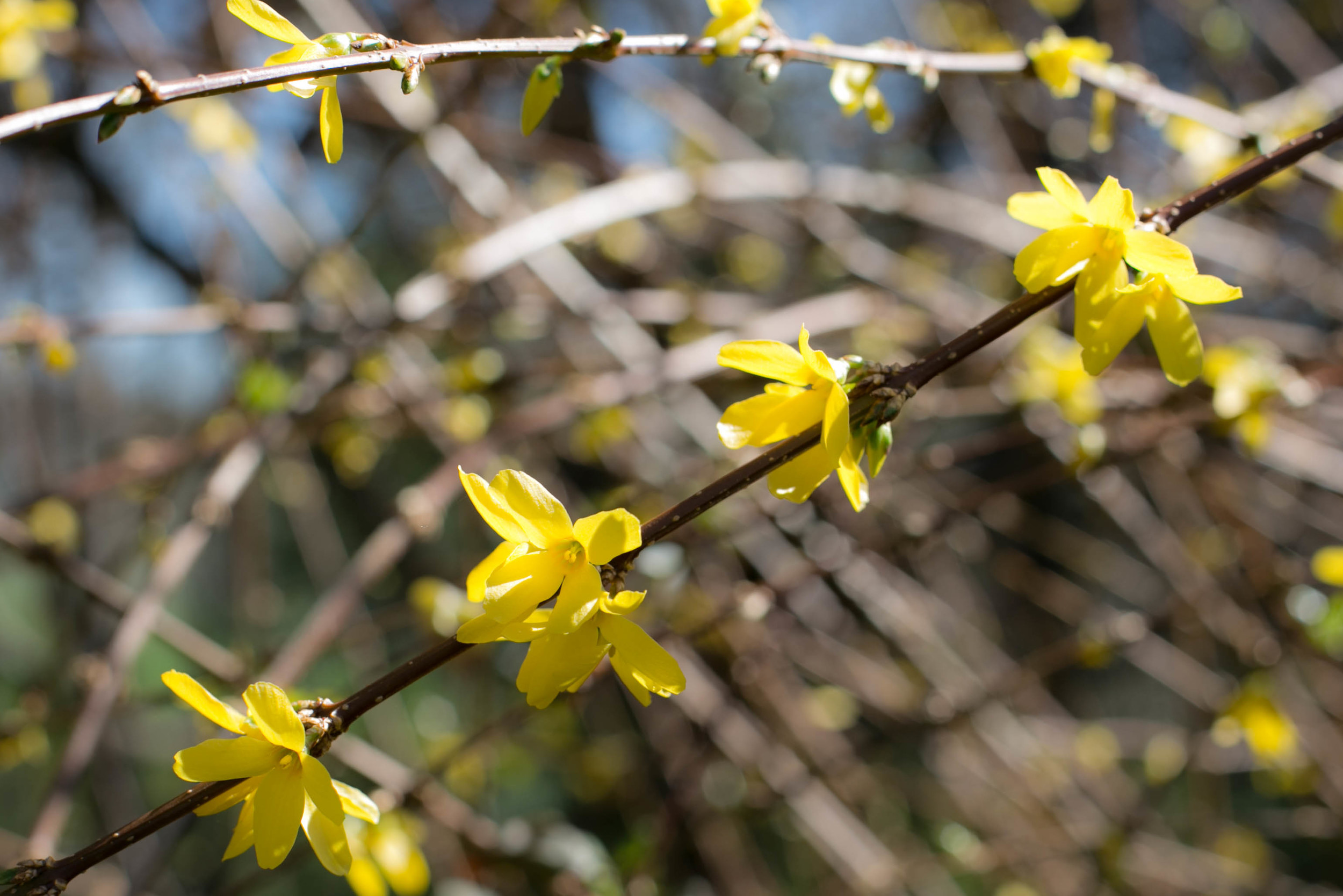 Forsythia adds a dramatic flair even before Spring begins.