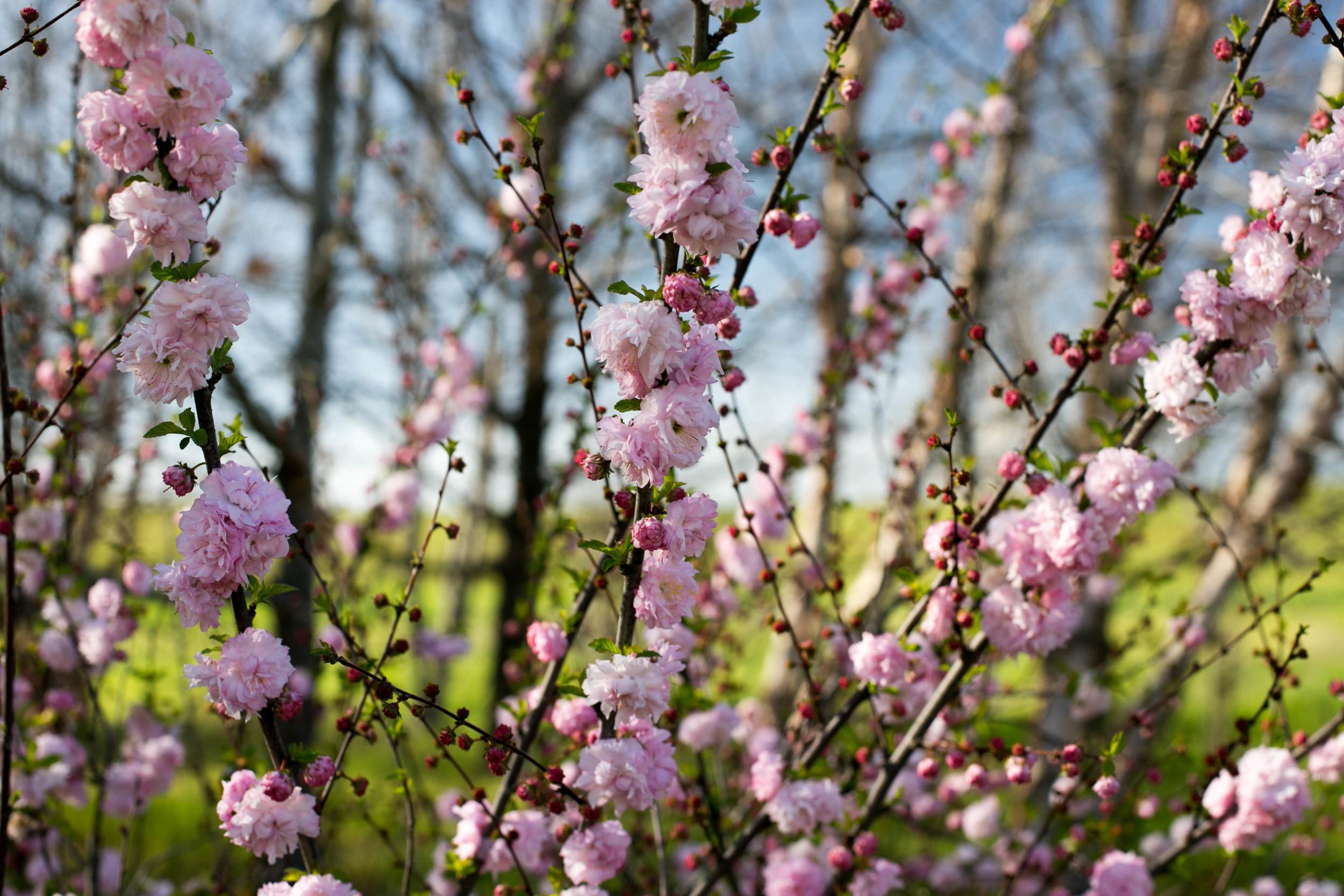 Prunis Triloba - Flowering Plum