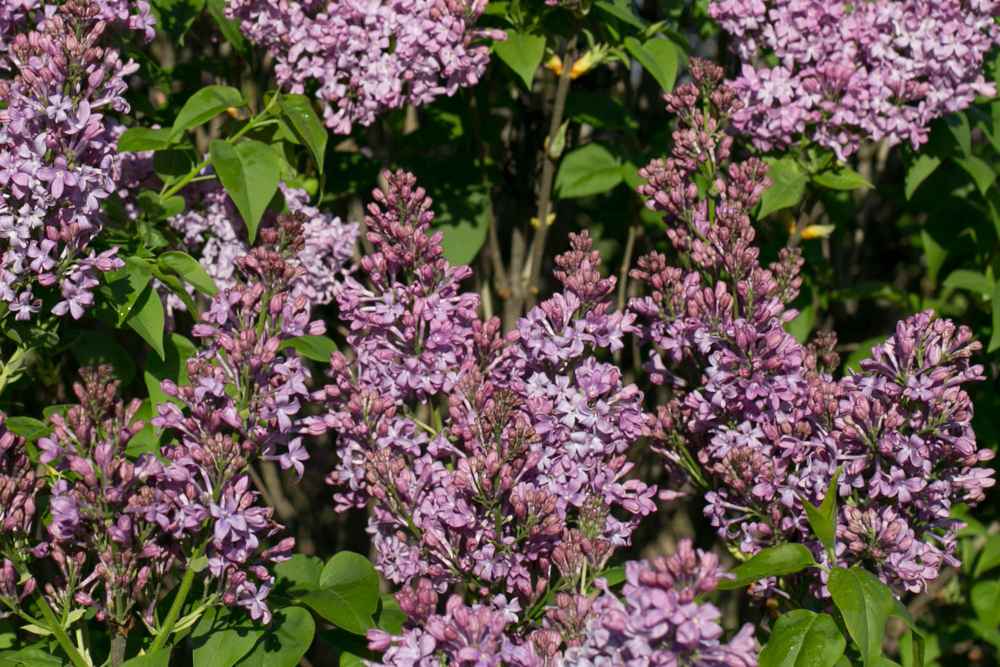 'Lilac Lady' Lilac has legendary fragrance and makes a superb cut-flower