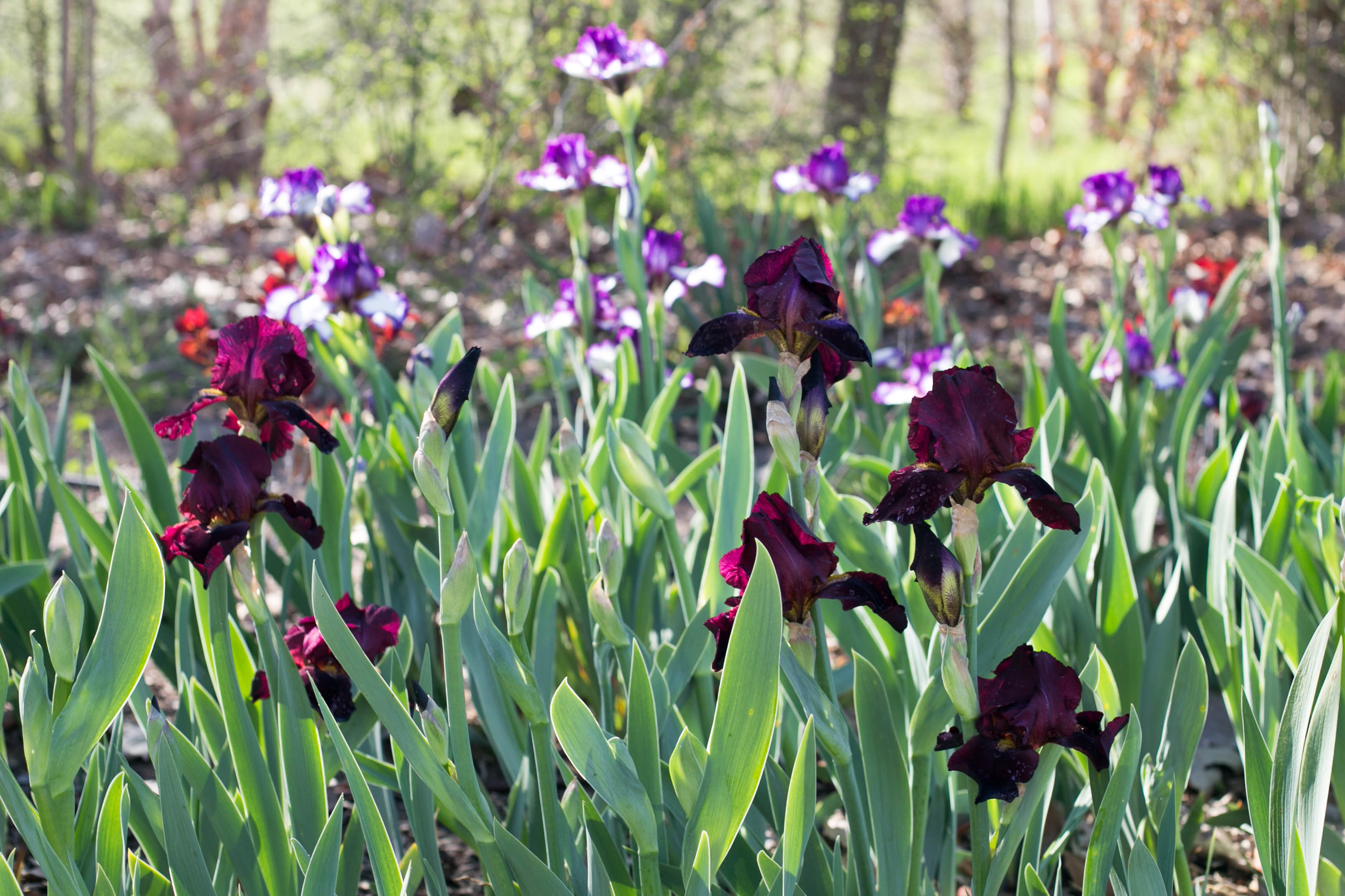 Drifts of Tall Bearded Iris at the edge of the wood