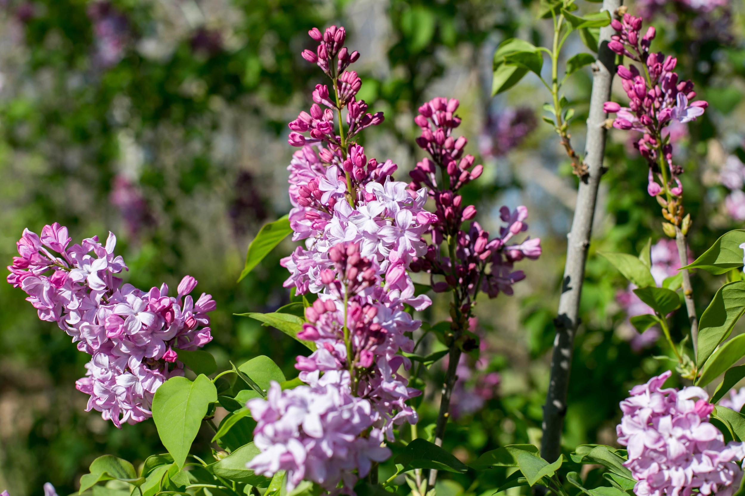 'California Rose' Lilac